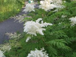 花の咲いているニワナナカマドの様子