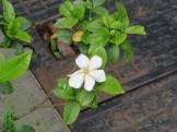 クチナシ 一重の花