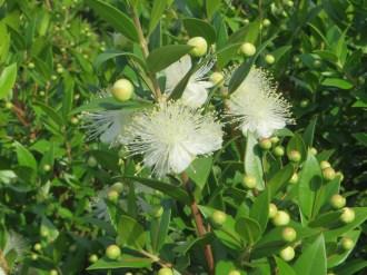 花のアップ(ギンバイカ)