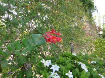花と葉の様子(バックはクチナシ)