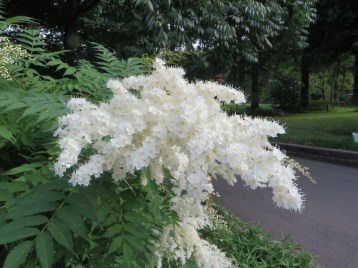 False spiraea/ ホザキナナカマド