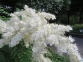 ホザキナナカマド 花のアップ
