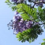 ジャカランダ 花と葉の姿