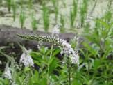 イヌヌマトラノオの花