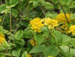 Yellow sage/ キバナランタナ
