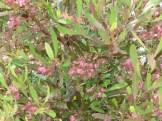 ポップブッシュ・プルプレア ピンクに見えるのは花ではなく実を包む鞘