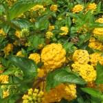 キバナランタナ 花の様子