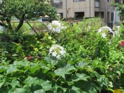 白花のルリマツリ
