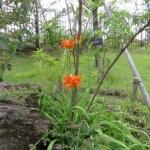 ヤブカンゾウの咲いている姿