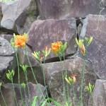 ヤブカンゾウの花とつぼみ
