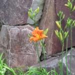 ヤブカンゾウ 花とつぼみ