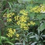 オミナエシの花の姿