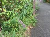 トウフジウツギ 植物の姿