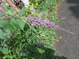 トウフジウツギ 花の姿