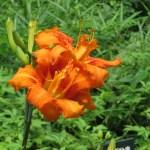 Orange daylily Yabukanzo, Kwanzo