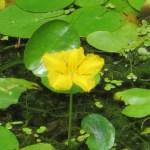アサザ 花のアップ
