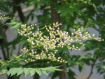Kirilow false spiraea/ ニワナナカマド