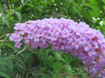 フジウツギ・ブッドレア 薄い藤色の花のアップ