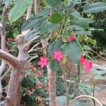 テイキンザクラの花の姿