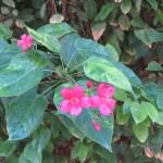 テイキンザクラ 花の姿