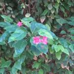 テイキンザクラ 花の様子