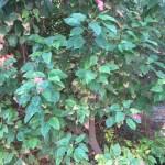 テイキンザクラ 植物の姿