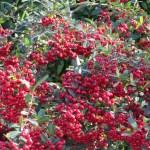 トキワサンザシの赤い実