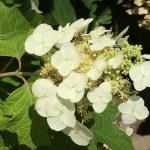 花の終わりに近いカシワバアジサイ