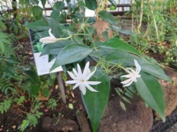 オオシロソケイ 花と葉の様子