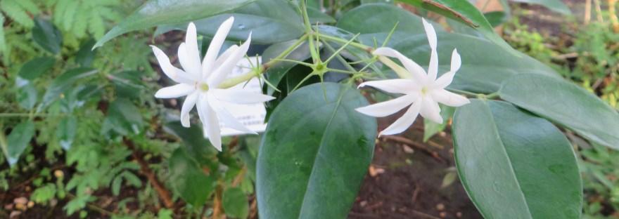 Angelwing Jasmine/ オオシロソケイ