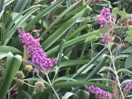 トウフジウツギ(?)の花