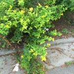 セイヨウオトギリソウ 植物の様子