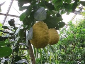 オオミレモン Lemon ponderosaの実