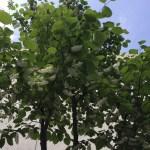 ハクウンボク 花のついた木の姿