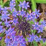 オオツルボ 花のアップ