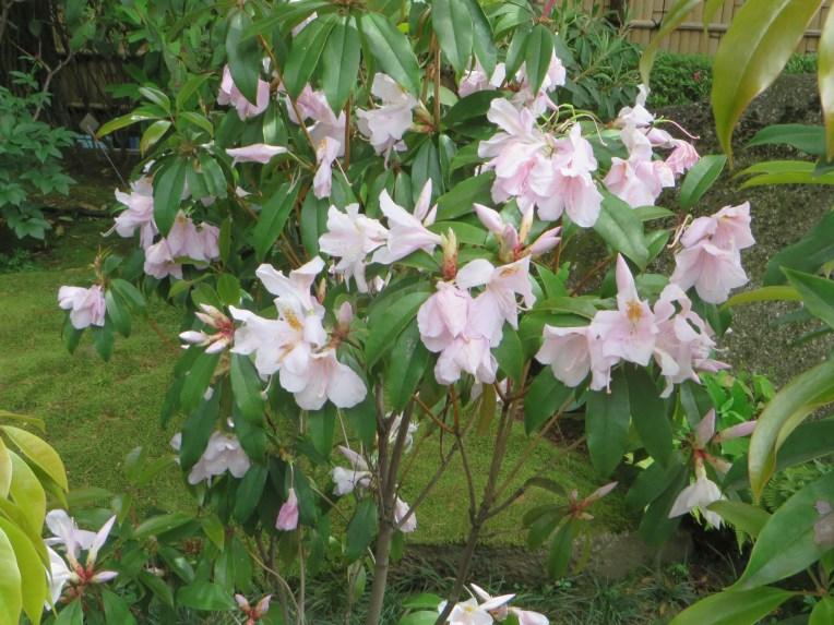 Rhododendron latoucheae/セイシカ