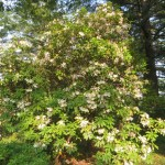 大きな白色系のシャクナゲの木
