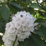 カルミアの花 アップ