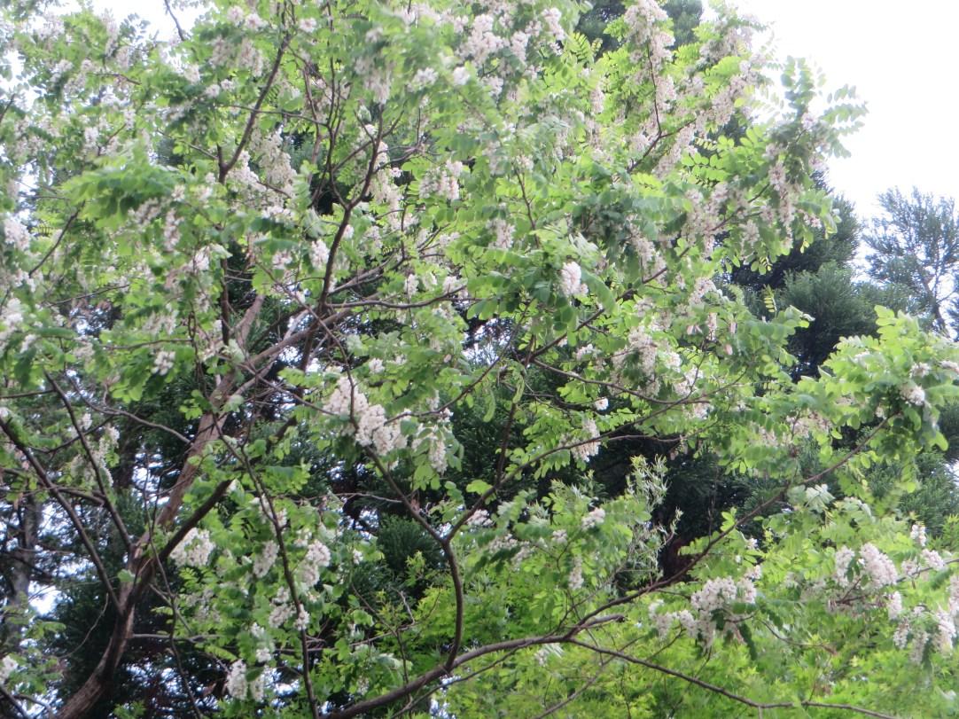 ニセアカシア 花のついた木の様子