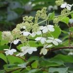 ノリウツギ ミナヅキの花のアップ(盛りを過ぎた)