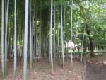 Asian bamboo/ 竹 (孟宗竹)