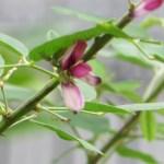 Leafy lespedeza/ マルバハギ