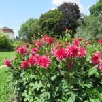 ウィーンの庭のダリア