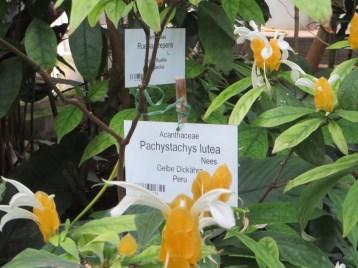 Flower of Lollipop plant ウコンサンゴバナ