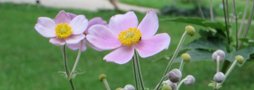 Japanese anemone/ シュウメイギク