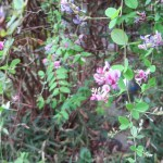 やや花の色が薄いツクシハギ