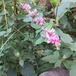 ハギ(ツクシハギ)の花の様子