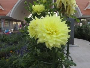 黄色系 ダリアの花