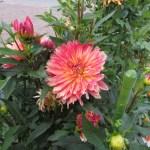 ダリアの花姿