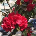 赤色系のシャクナゲの花のアップ
